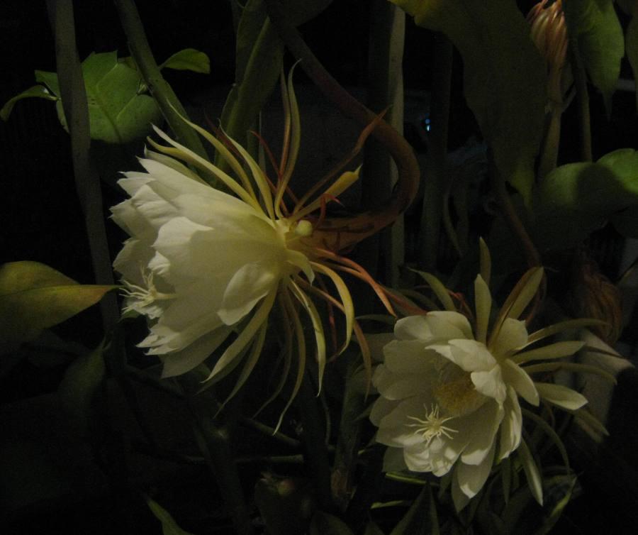 Orchid Cactus (Epiphyllum oxypetalum)