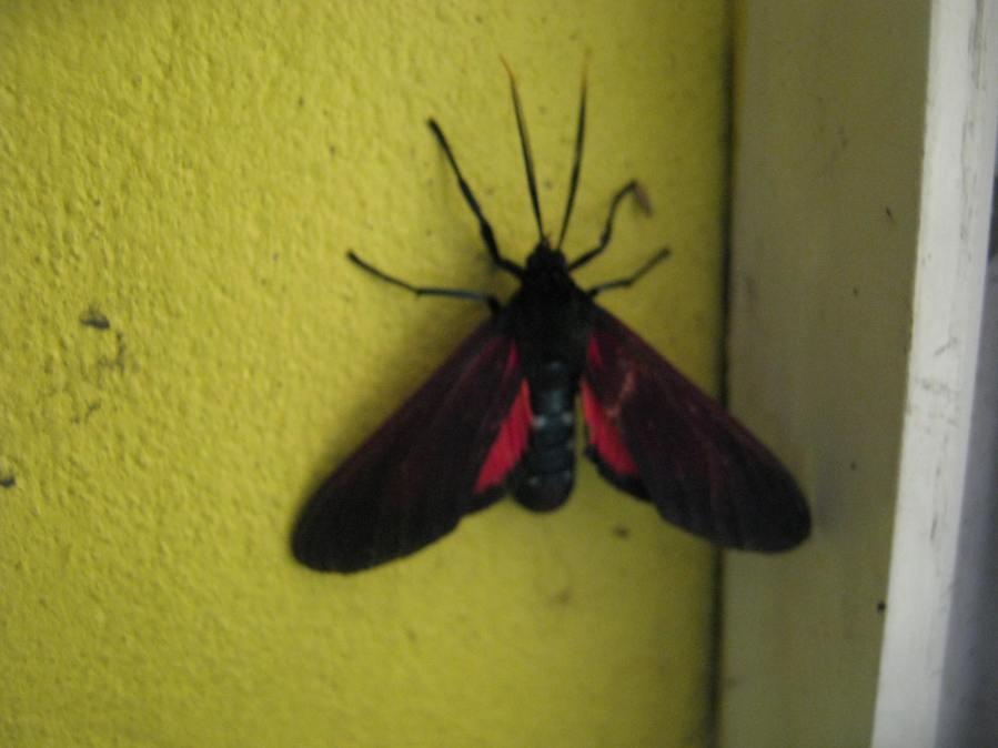 Moth - Empyreuma anassa