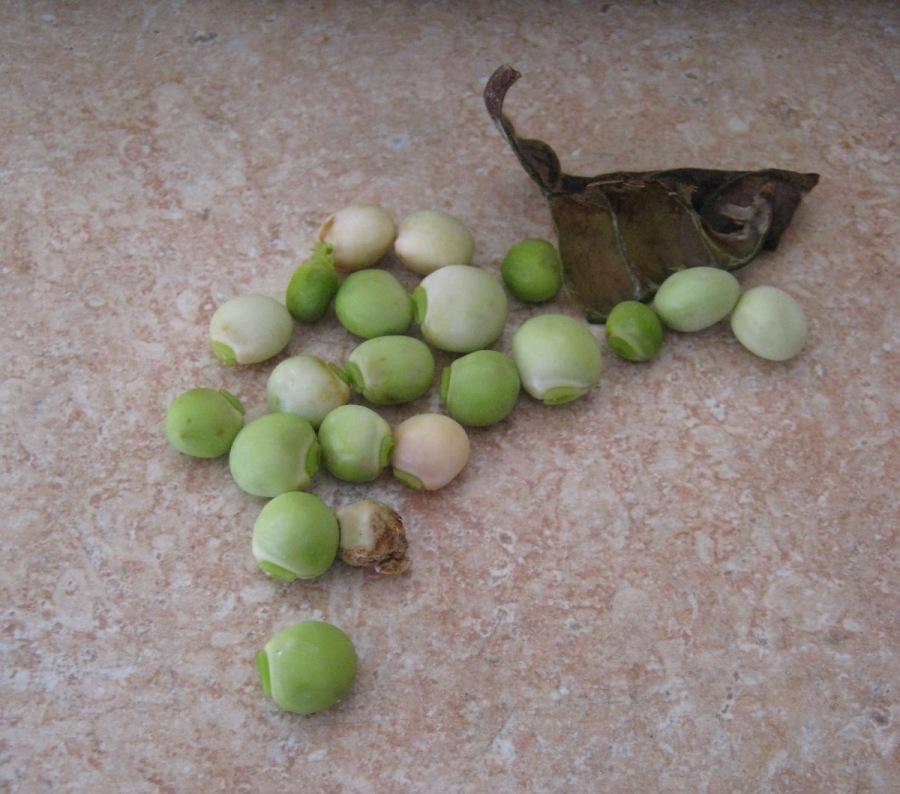 Gungo peas/Pigeon peas (Cajanus cajan)