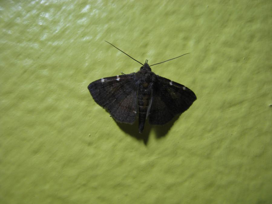 Jamaican moth