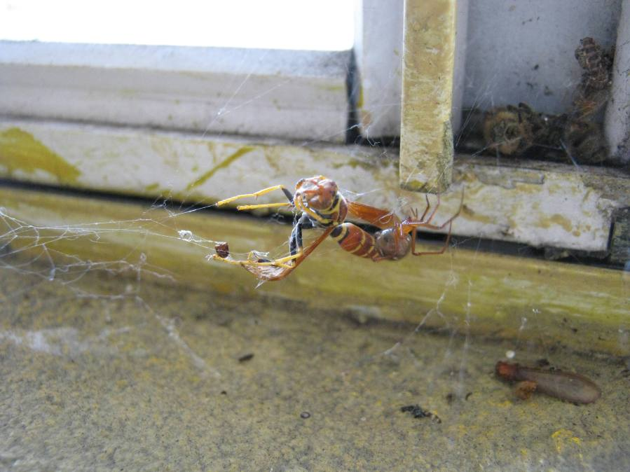 paper wasp caught by spider