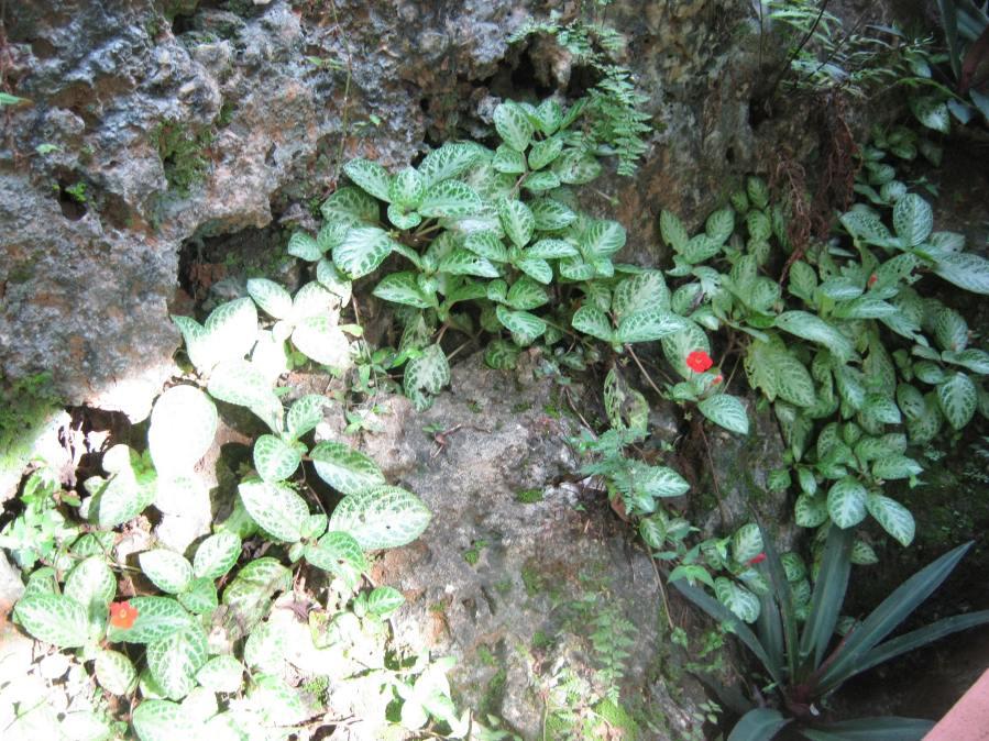Episcia Tricolor plants