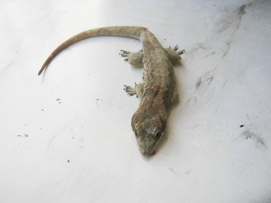 dead Cochran's croaking gecko